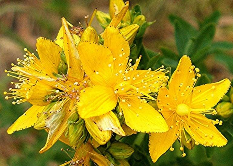 Жълт кантарион като противовирусно средство